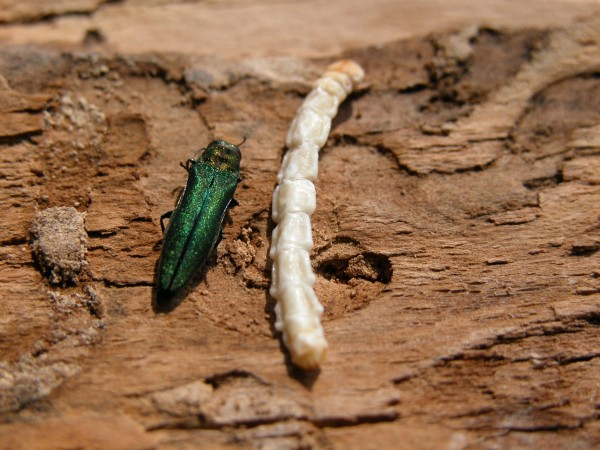 EAB adult larva bark1