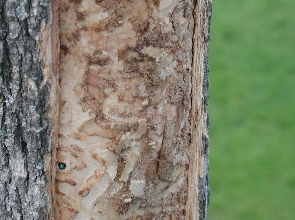 EAB treebark